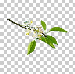 Lemon Orange Flower Water Orange Blossom PNG