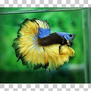 Siamese Fighting Fish Veiltail Aquarium Emerald Green Betta PNG