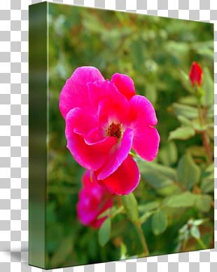 Annual Plant Magenta Violet Herbaceous Plant Family PNG