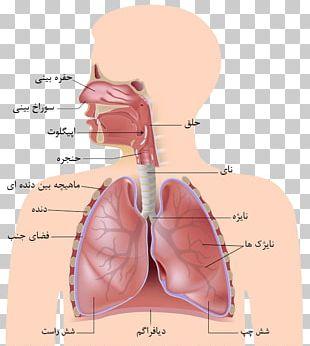 Respiratory System Human Body Organ Diagram Respiration PNG