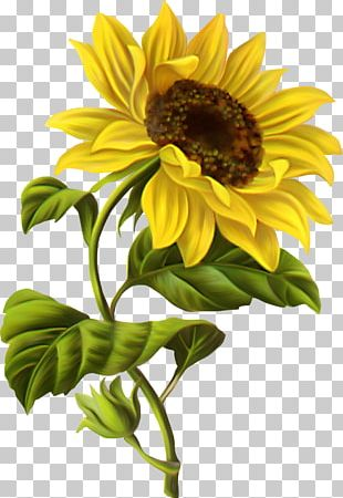 Common Sunflower Drawing Botanical Illustration Watercolor Painting PNG