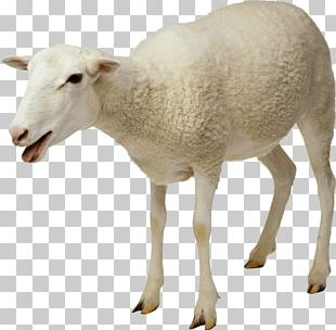White Sheep PNG