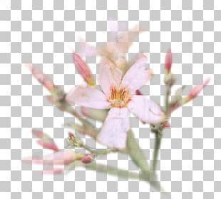 Cherry Blossom Flower Petal Spring PNG