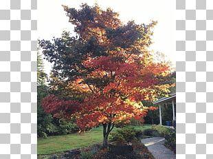 Japanese Maple Broad-leaved Tree Oak Deciduous PNG