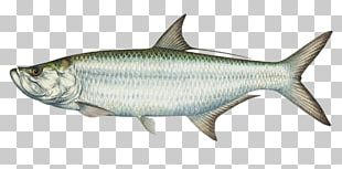 Tarpon Springs International Game Fish Association Boca Grande Tarpon Charter Atlantic Tarpon Fishing PNG