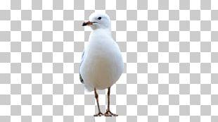 Gulls Water Bird Beak Feather PNG