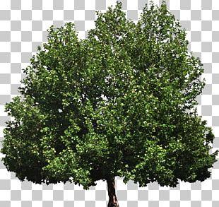 Tree Of Heaven Woody Plant Broad-leaved Tree PNG