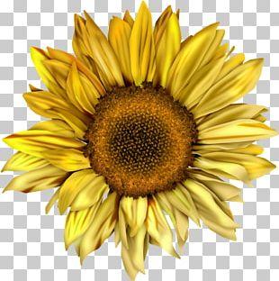 Common Sunflower Desktop Sunflower Seed PNG
