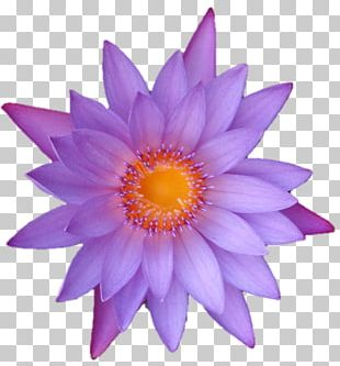 Daisy Family Close-up Common Daisy PNG