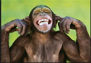 Monkey World Ape Capuchin Monkey Haplorhini PNG