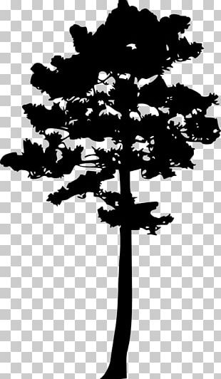 Woody Plant Tree Pine PNG
