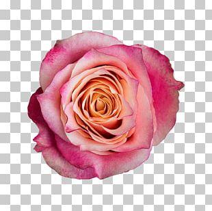 Garden Roses Cabbage Rose Floribunda Cut Flowers Pink PNG