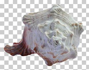 Seashell Sea Urchin PNG
