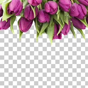 Tulip Purple Flower Stock Photography PNG