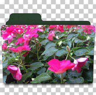 Flowering Plant Rosaceae Annual Plant Magenta PNG