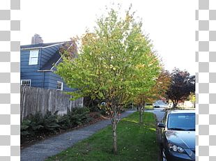 Shade Tree Shrub Evergreen Maple PNG