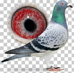 Racing Homer Columbidae Pigeon Racing Cat Bird PNG