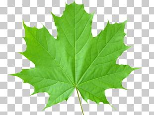 Sugar Maple Autumn Leaf Color Green PNG