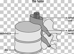 Vertebral Column Spinal Cord Anatomy Cervical Vertebrae Nervous System PNG