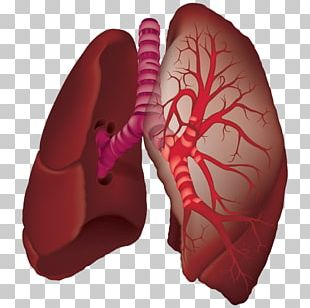 Organ Lung Animaatio Aorta Laboratories Pvt. Ltd. PNG