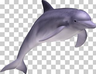 Striped Dolphin Common Bottlenose Dolphin Short-beaked Common Dolphin Rough-toothed Dolphin Tucuxi PNG