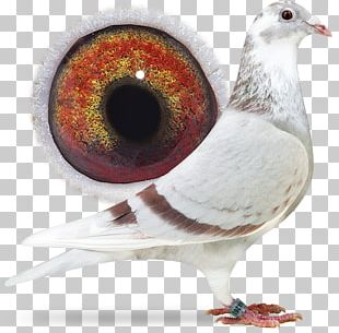 Racing Homer Columbidae Homing Pigeon Pigeon Racing Belgium PNG