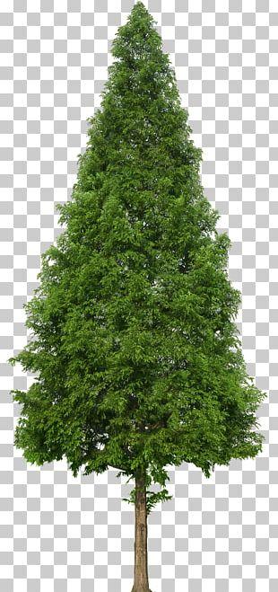 Evergreen Tree Douglas Fir PNG