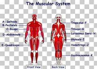 The Muscular System Anatomical Chart Human Body Muscle PNG