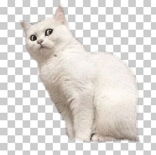 British Shorthair Burmilla European Shorthair Ragamuffin Cat Australian Mist PNG