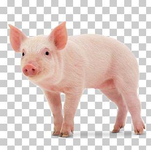 Middle White Danish Landrace Pig Miniature Pig Large White Pig Stock Photography PNG