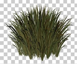 Herbaceous Plant Lawn Meadow Grasses Sweet Grass PNG