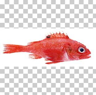 Fish Oyster Marine Biology Northern Red Snapper Mullus Barbatus PNG
