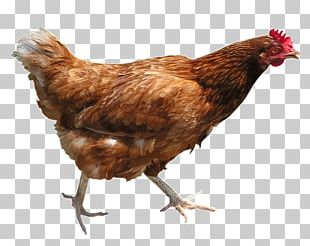 Chicken Curry Poultry Chicken Meat Urban Chicken PNG