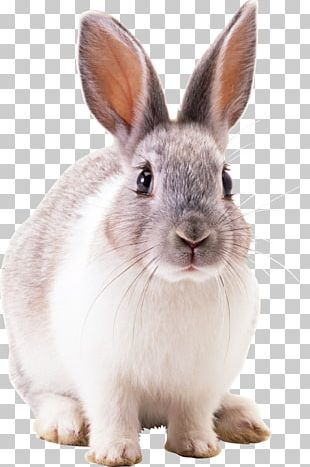 Hare Netherland Dwarf Rabbit Cottontail Rabbit Domestic Rabbit PNG