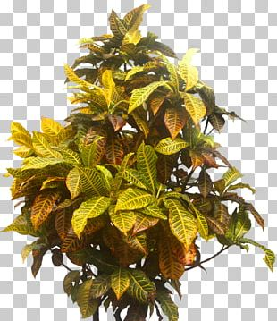 Garden Croton Tree Shrub PNG