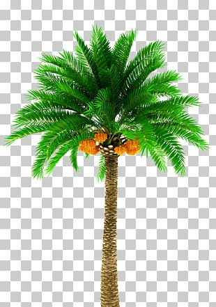 Date Palm Arecaceae Stock Photography Tree PNG