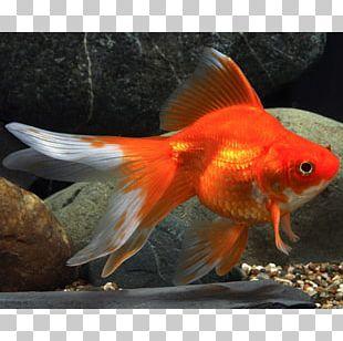 Ryukin Fantail Oranda Common Goldfish Koi PNG