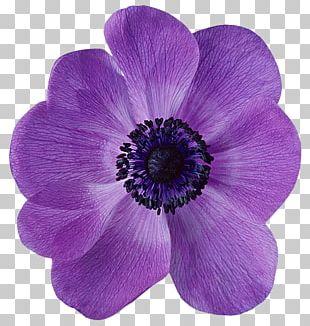 Anemone Flower Petal Violet Desktop PNG