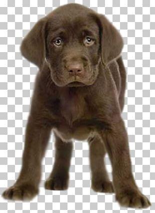 Labrador Retriever Puppy Birthday Greeting & Note Cards PNG
