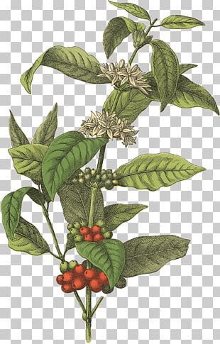 Coffee Bean Cafe Botanical Illustration Arabica Coffee PNG