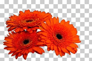 Daisy Family Cut Flowers Transvaal Daisy Floristry PNG