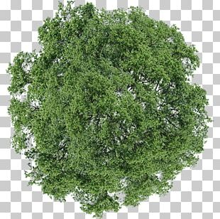 Tree Dill Shrub PNG