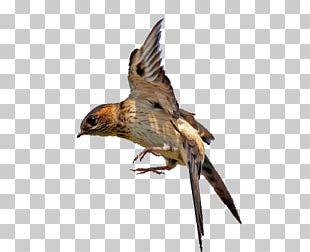 Swallow Bird Flight Hawk PNG