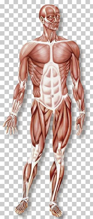 Hand Muscular System Skeletal Muscle Organ System Human Body PNG