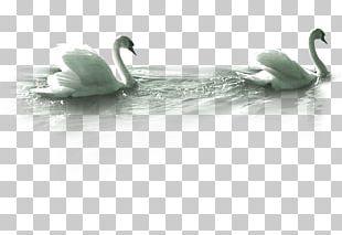Mute Swan Goose PNG