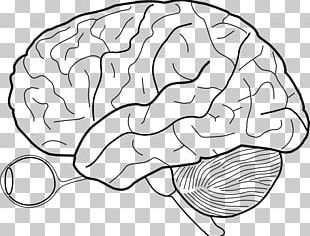 Outline Of The Human Brain Human Body PNG