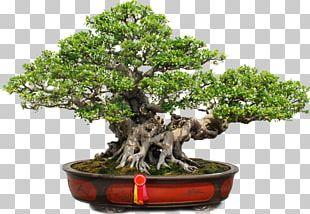 Bonsai Tree Png Images Bonsai Tree Clipart Free Download