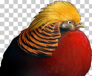 Golden Pheasant Galliformes Beak Feather PNG
