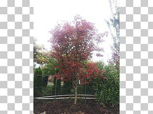 Branch Sugar Maple Tree Nursery Shrub PNG