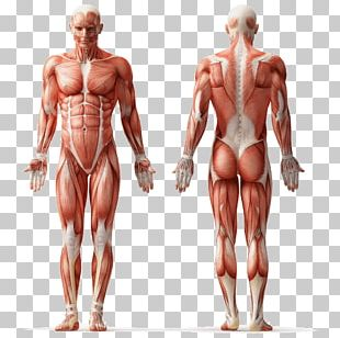 Human Anatomy Muscle Human Body Muscular System PNG